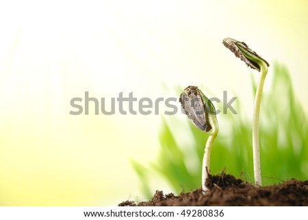 Two green sunflower plant sprouts - stock photo