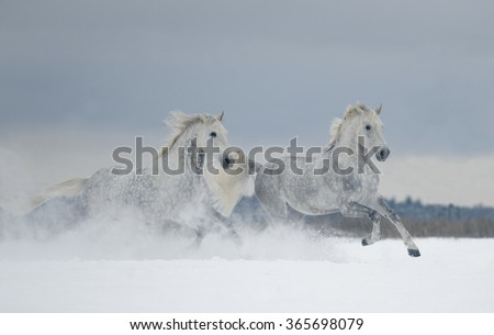 two grey dappled horses runs free in snow covered field - stock photo