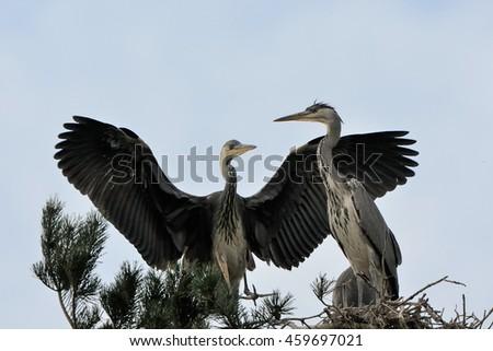 Two Grey Heron (Ardea cinerea) juvenile birds in the nest - stock photo