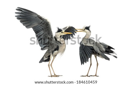 Two Grey Herons flapping - stock photo