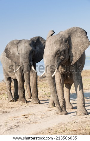 two grey, male african elephants standing together, Chobe National Park, Botswana, Africa - stock photo