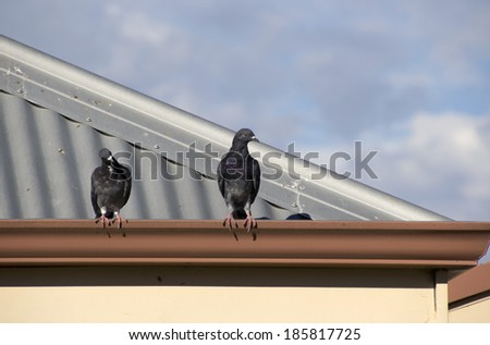 Two  grey  pigeons constituting  the bird clade Columbidae sit  on the gutter of an iron roofed suburban house on a sunny afternoon in early autumn. - stock photo