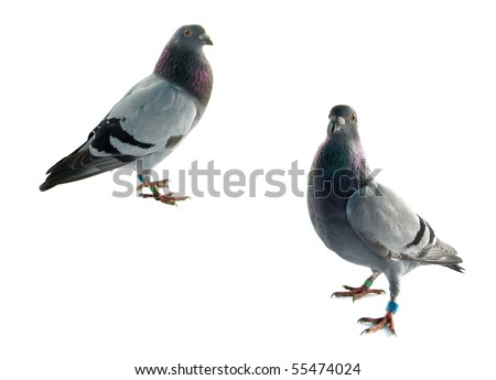 two grey pigeons isolated on white background - stock photo