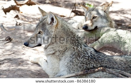 Two grey wolfs resting - stock photo