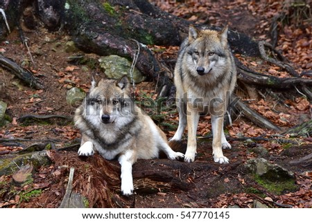 two grey wolves in nature of Bavarian reserve in Germany