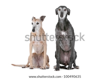 Two greyhound dogs in front of a white background