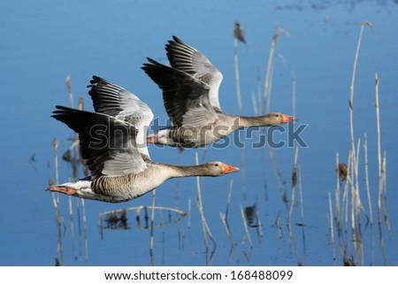 Two Greylag Goose in flight - stock photo