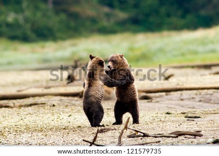 Two Grizzly Bears Dancing. Grizzly Bears Fighting, Grizzly Bears playing. British Columbia, Canada, North America.