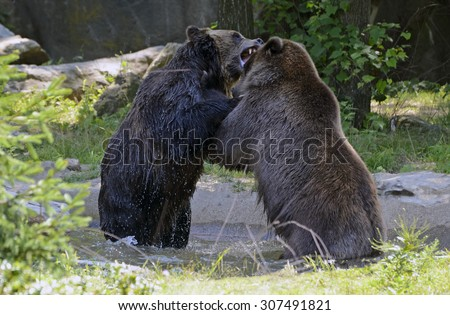 Two Grizzly bears in battle - stock photo
