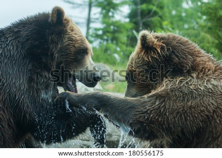 Two Grizzly (Brown) Bears Fighting or playing soft focus - stock photo