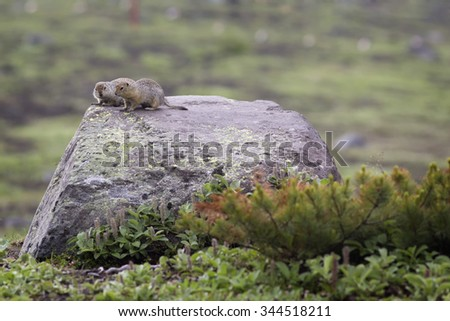 Two ground squirrel sitting on a rock - stock photo