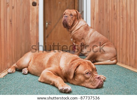 Two guard dogs inside the house in front of the door - stock photo