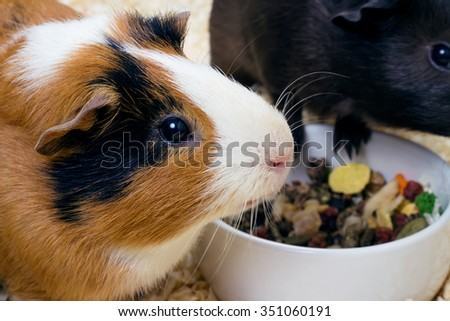 Two Guinea pigs near the bowl of food. Closeup - stock photo
