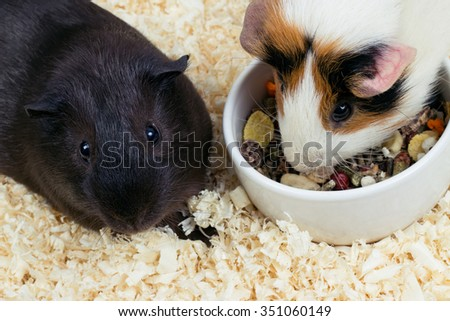 Two Guinea pigs near the bowl of food. Top view - stock photo