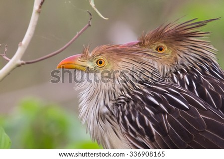 Two Guira Cuckoos (Guira guira) close up of head and shoulders,  one focused ,one out of focus, perched in foliage, Pantanal, Brazil - stock photo