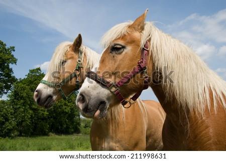 two Haflinger horses - stock photo