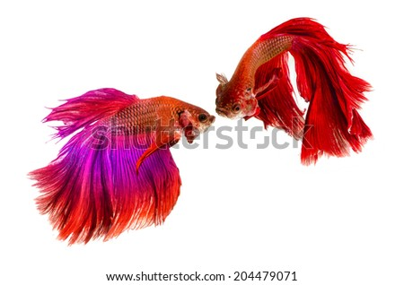 Two Halfmoon Siamese Fighting Fishes isolated on white background.