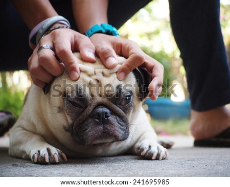 two hand of a boy playing with a dog catching on the head of a lovely funny white fat cute pug dog laying on the garage floor with home outdoor surrounding bokeh background - stock photo