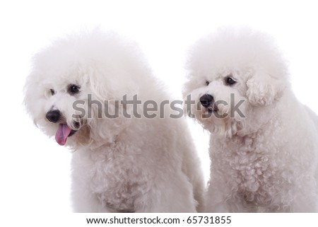 two happy bichon frise dogs, on a white background - looking very curiously at something