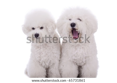 two happy bichon frise dogs, on a white background - one of them is very sleepy - stock photo