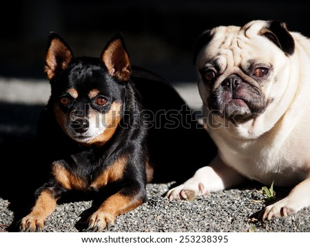 two happy cute lovely dogs playing together black fat miniature pincher and white moody fat pug laying on the gray country house footpath floor outdoor under natural sunlight  - stock photo