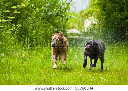 Two happy dogs, a Golden and Labrador Retriever, running in tall grass outside of a sunny day.