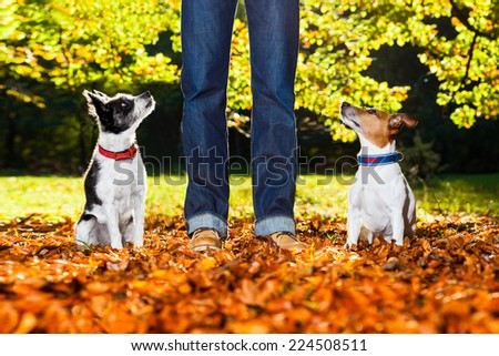two happy dogs with owner sitting on grass in the park , looking up - stock photo