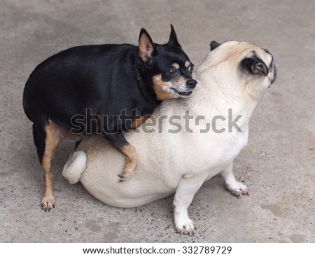 two happy funny cute lovely dogs playing together white moody pug sitting on the floor and a black fat miniature pincher dog trying to mate the pug, picture taking outdoor under natural sunlight - stock photo