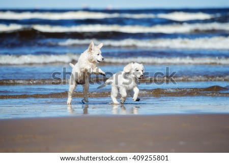 two happy golden retriever puppies on a beach - stock photo