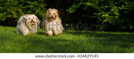 Two happy havanese dog is running towards the camera in the grass - wide banner format - stock photo