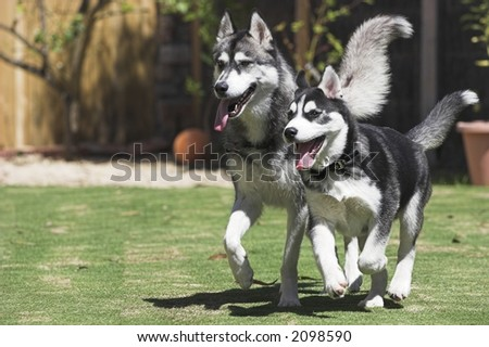Two Happy Huskies