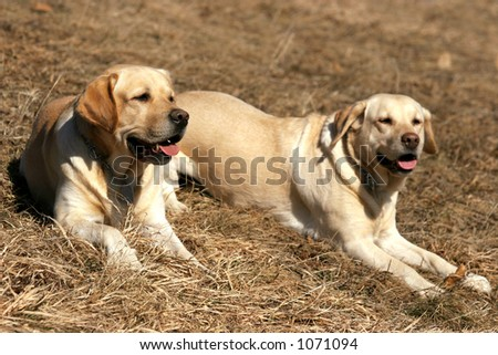 Two happy labradors, male and female