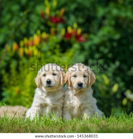 two happy puppies of golden retriever - stock photo