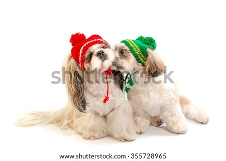Two happy shih-tzu puppies kisses - isolated on white