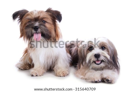Two happy shih tzu puppies smiling at camera, isolated on white background - stock photo