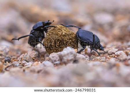 Two hard working dung beetles putting a lot of effort in rolling a ball through gravel - stock photo
