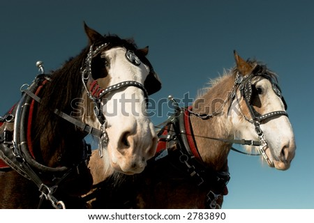 Two harnessed horses