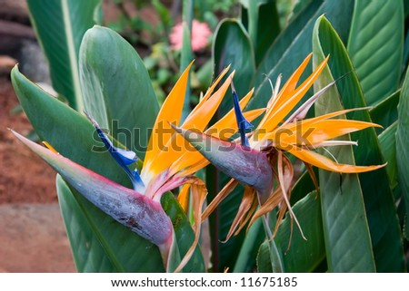 Two Hawaii birds of paradise growing among green foliage - stock photo