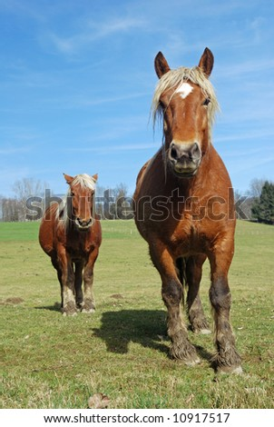Two healthy brown horses in the pasture - stock photo