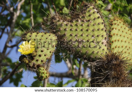 Two heart-shaped paddles of a prickly pear cactus are accented by a full cactus bloom in the Galapagos Islands. - stock photo