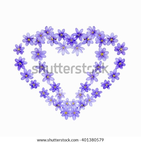 Two hearts of spring flowers hepaticas on a white background. Concept of love. - stock photo