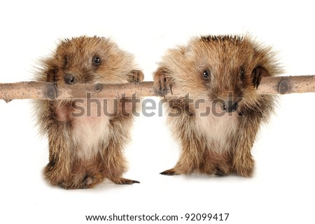 two hedgehog isolated on a white background - stock photo