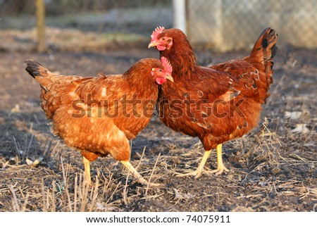 Two hens - stock photo
