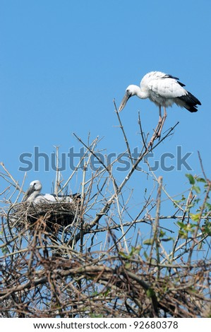 Two heron in a tree - stock photo