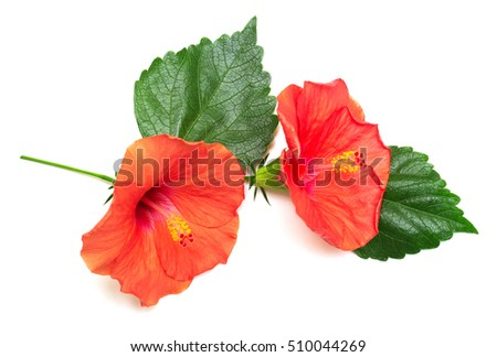 Two hibiscus flower with leafs isolated on white background. Card. Flat lay, top view.