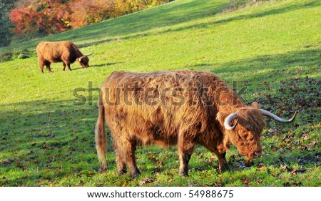 Two highland Cattle grazing in a field on a sunny day. Profile image.