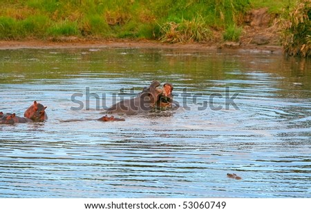 Two hippos' fight. Africa. Kenya. Masai Mara
