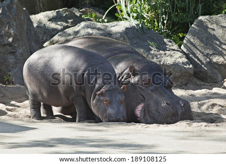 Two hippos, mother and child in a zoo - stock photo