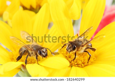 Two Honey Bees collecting Pollen on a Bright Yellow Flower - stock photo