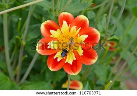 Two honey bees on orange dahlia flower - stock photo